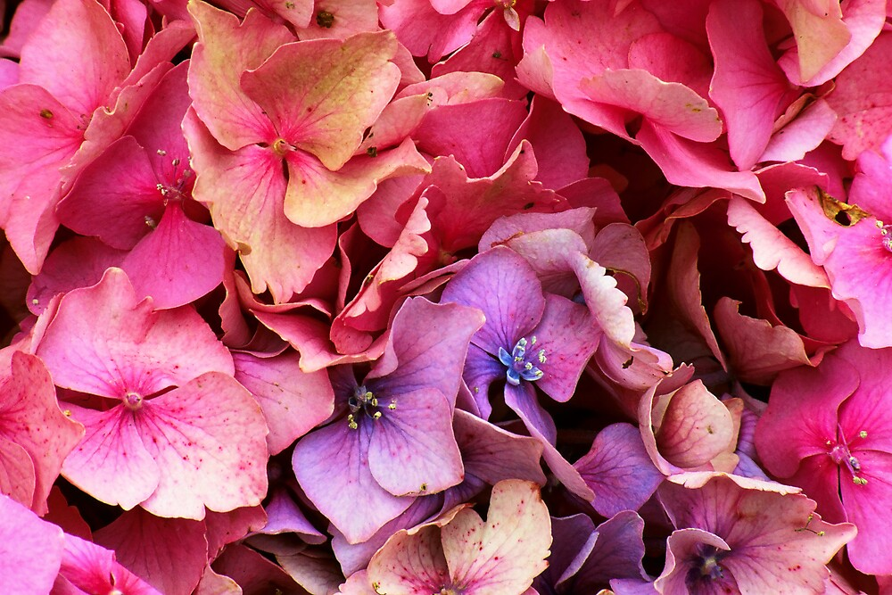 Hydrangea by Stephen Jackson