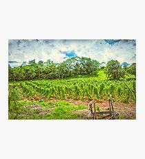 Jamaican Vineyard Photographic Print