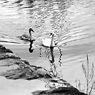 Reflective swans by Orla Flanagan