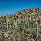 Saguaro National Park Tucson by Imagery