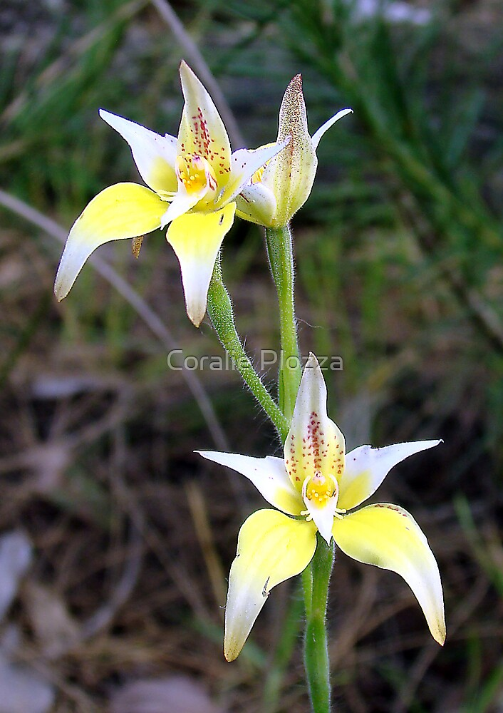 Cowslip orchid by Coralie Plozza