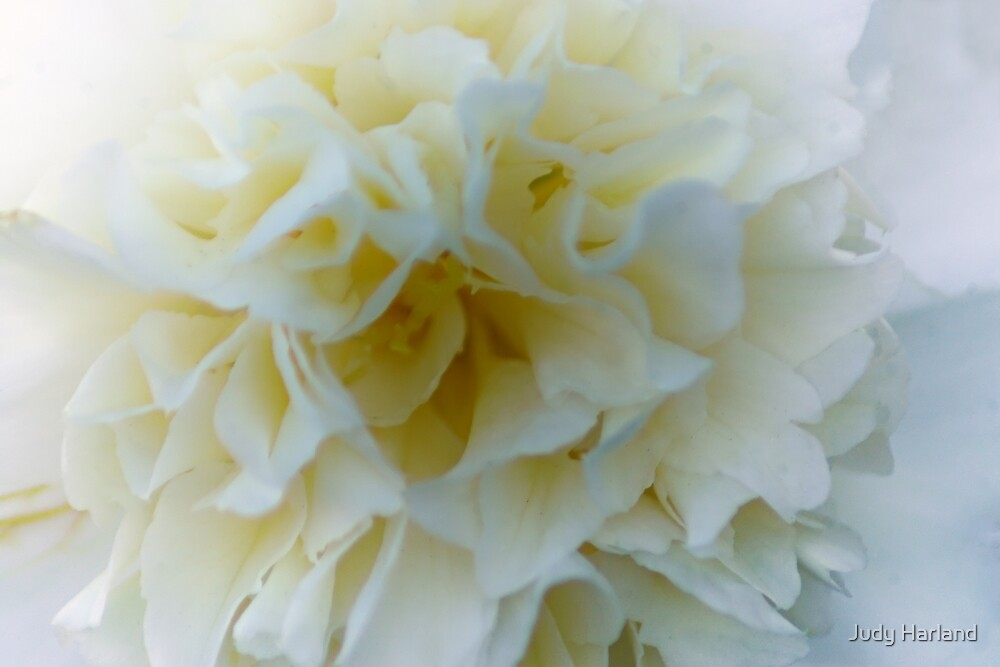 White Camellia by Judy Harland