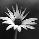 BW Flower by berndt2