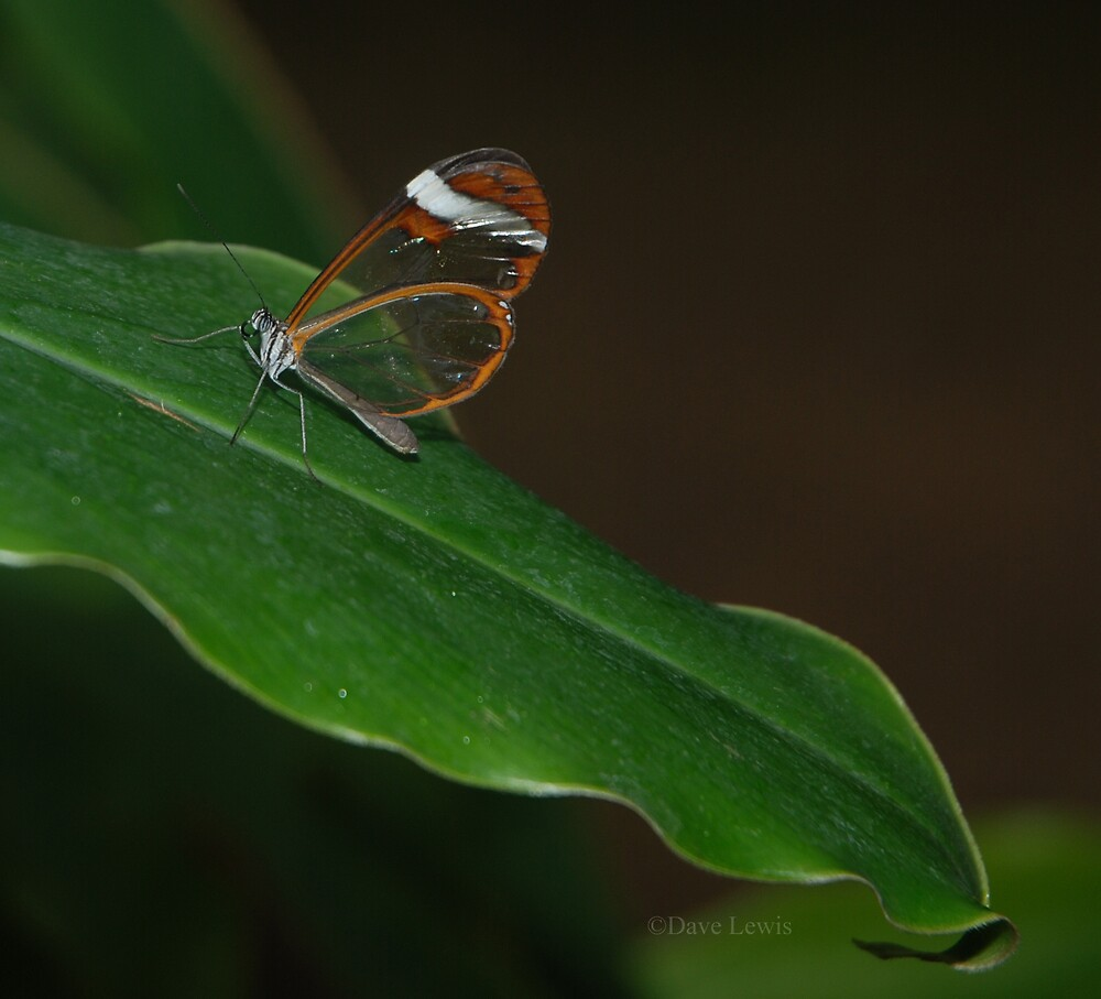 Glasswing by ukgun