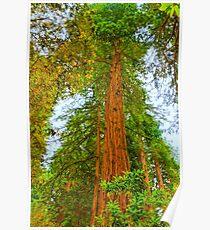 Coastal Redwoods Poster