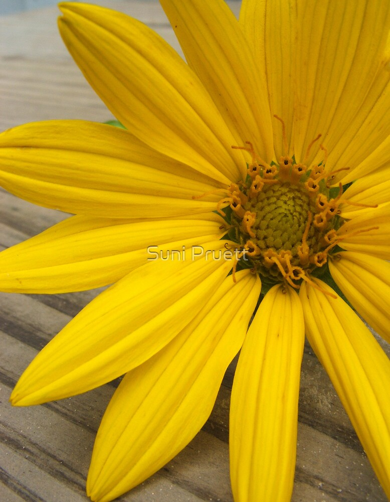 Wild Sunflower by Suni Pruett