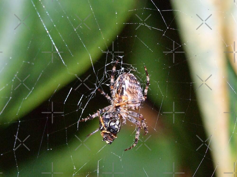 garden spider by karl  lee