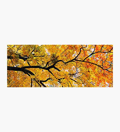 Silver Maple in full Fall Photographic Print