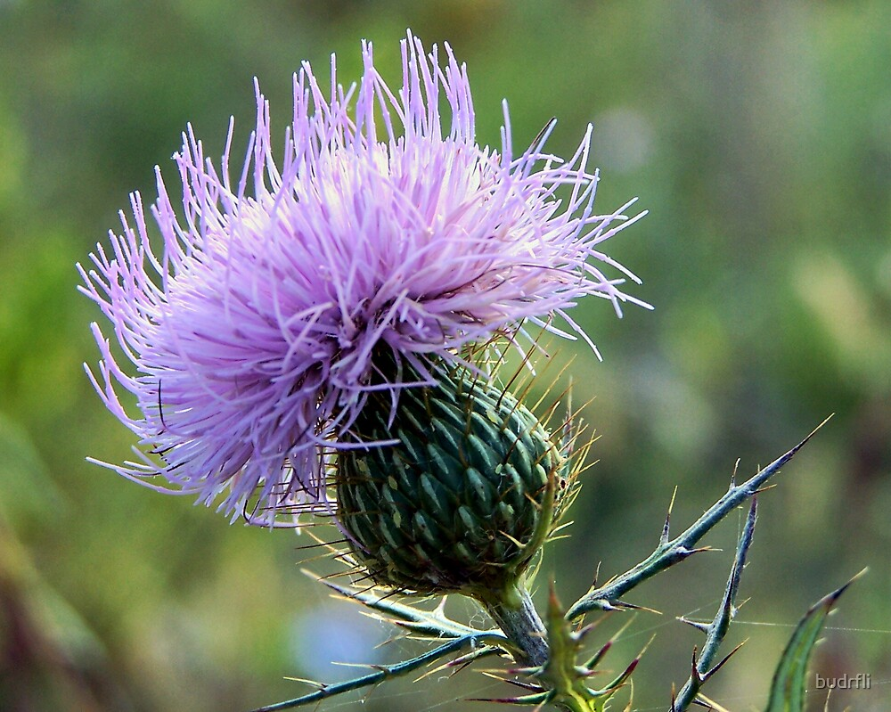purple thistle by budrfli