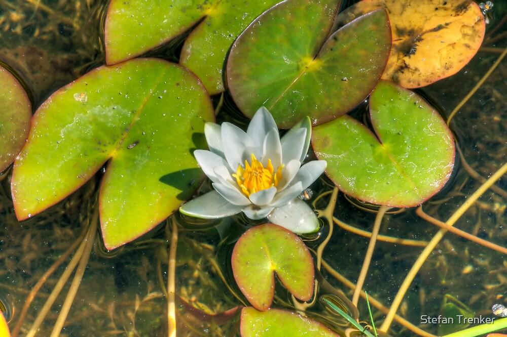 water lily by Stefan Trenker