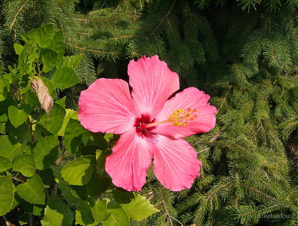 Pink Bloom by steelwidow