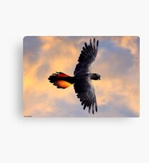 Red Tail Black Cockatoo - Flight Canvas Print