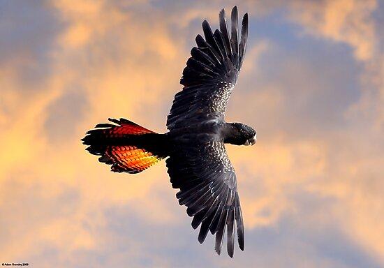 Red Tail Black Cockatoo - Flight by Adam Gormley
