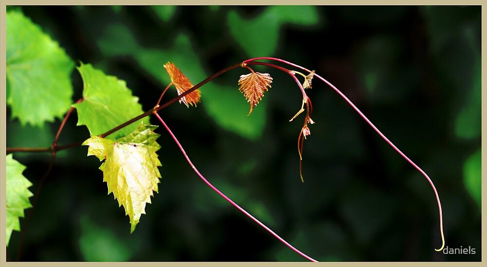 wild grapevine by daniels