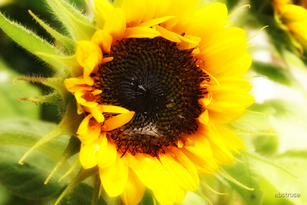 Sunflower by abstruse