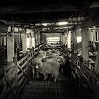 Sheep In The Pen by Ben Loveday