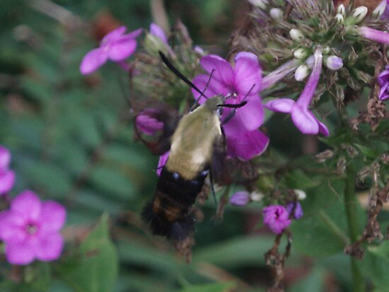 Hummingbird Hawk-moth by Johanna  Rutter
