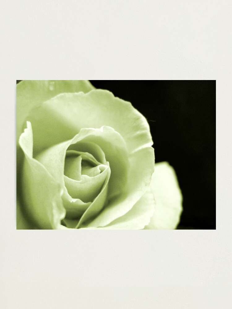Alternate view of Rose Mono Photographic Print