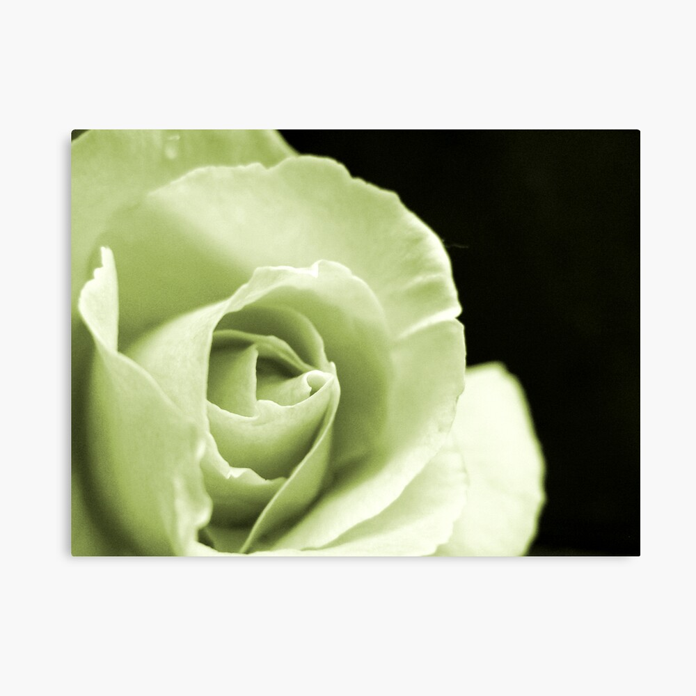 Rose Mono Canvas Print