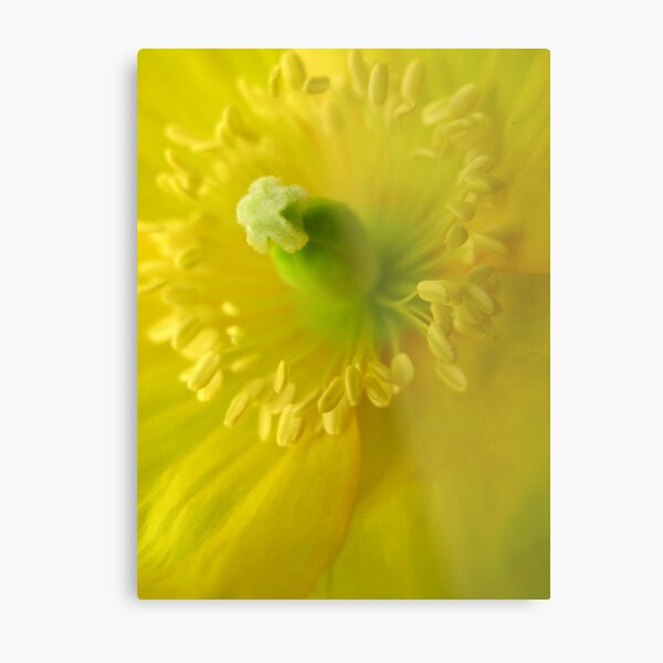 welsh poppy 2 Metal Print