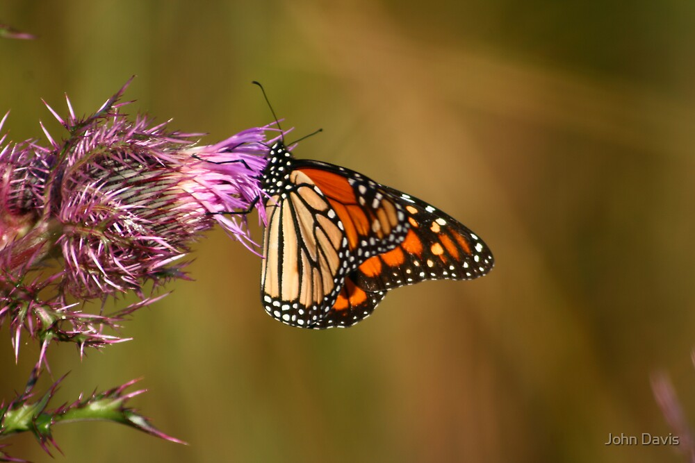 MONARCH AND THISTLE! by John Davis