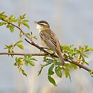 Sedge Warbler by dilouise
