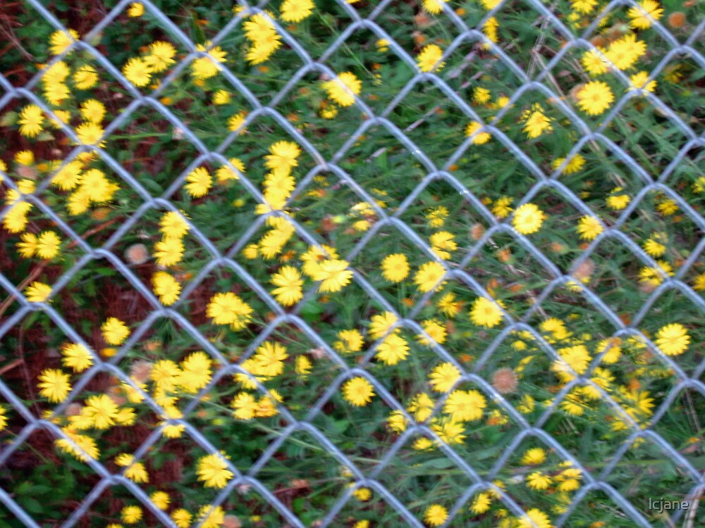 Yellow Flowers...through the Fence by lcjane