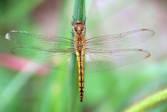Gold-Winged Skimmer Dragonfly II by Bonnie T.  Barry
