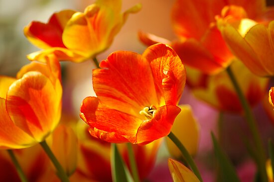Glowing Tulips by Kathleen Struckle