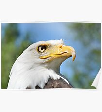Head of American Eagle Poster