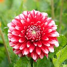 Close up of a red dahlia. by britishphotos