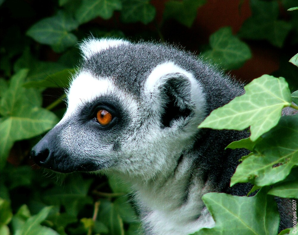 Ring-Tailed Lemur by Durotriges