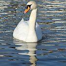 Elegant white swan. by britishphotos