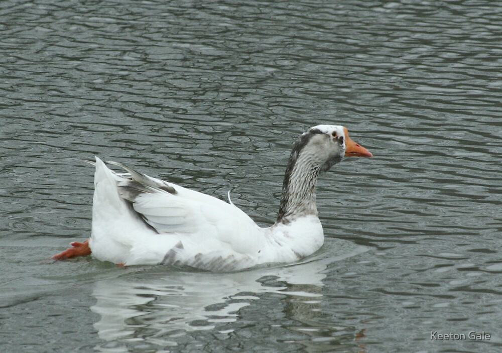 Snow Goose by Keeton Gale