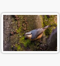 Nuthatch Sticker