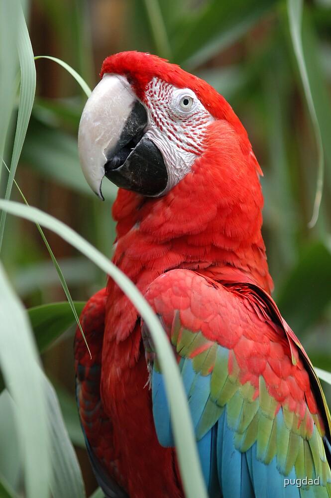 scarlet macaw by pugdad