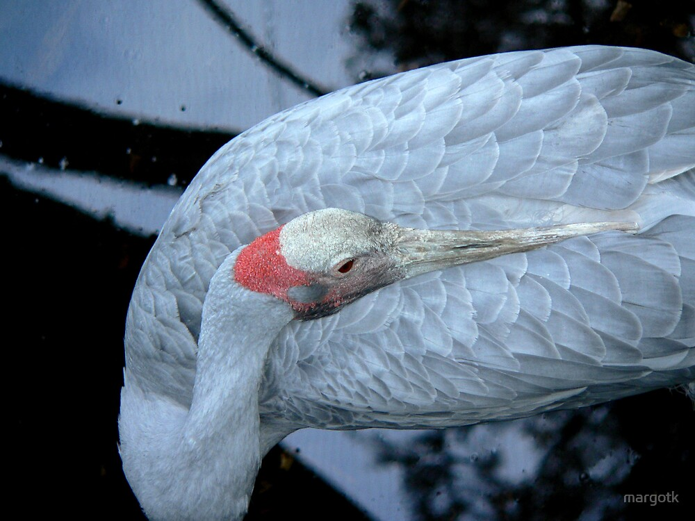 Brolga by margotk