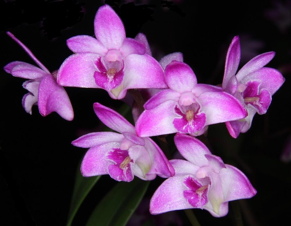 Dendrobium kingianum -ANOS 2000 x Carmel- by wazonthehill