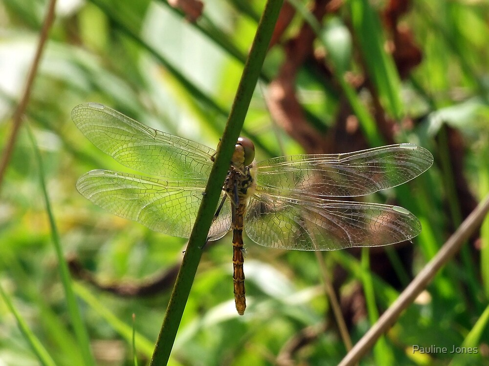 Dragonfly Through The Reeds by Pauline Jones