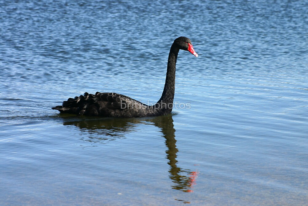 A black swan and a reflection. by britishphotos