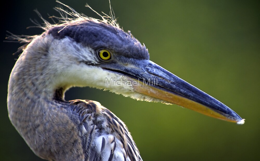 Great Blue Heron Head Shot by Michael Mill