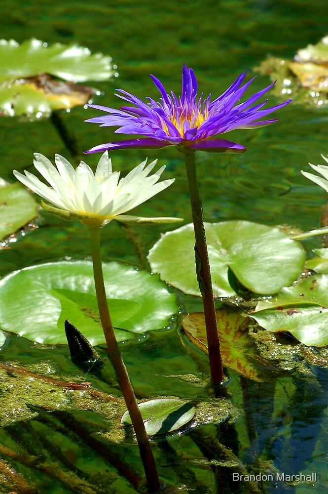 Pond Flowers by Brandon Marshall