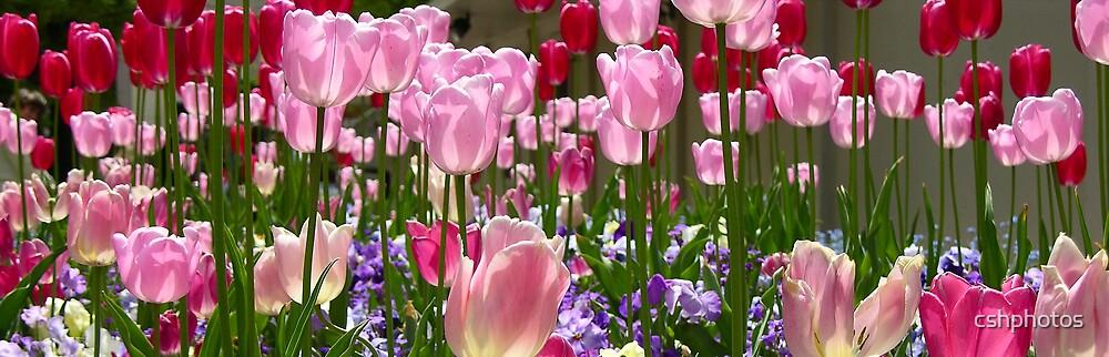 Tulip Garden at SLC Temple by cshphotos