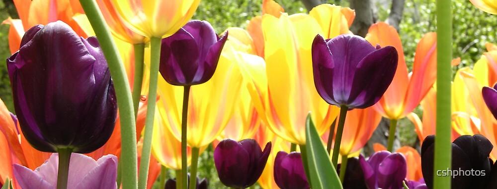 Tulip Garden II by cshphotos