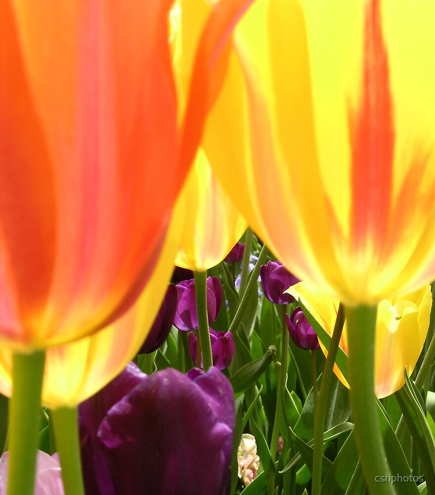 Tulip Gardn III by cshphotos