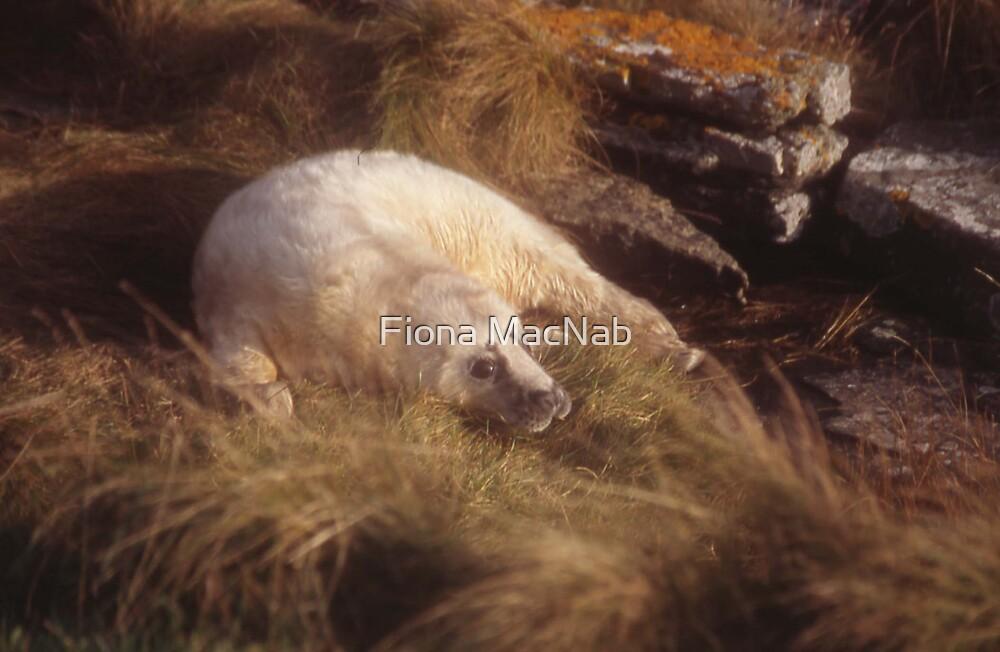 Seal pup by Fiona MacNab