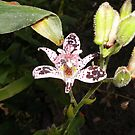 One Single Toad Lilly by 1FANCY1