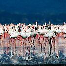 flamingo by Tom  Cockrem