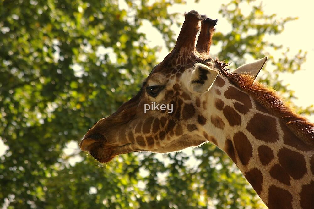 Giraffe by pikey