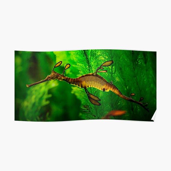 Leafy Sea Dragon Poster